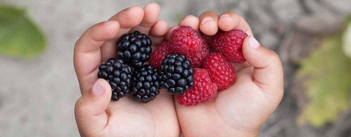 Ripe red raspberries in the little girl hands.