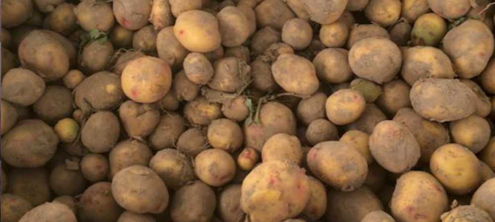 Yukon Potatoes